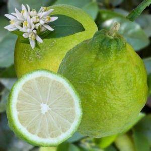 Citronnier des Antilles – Pot de 2 litres, hauteur 20/30 cm
