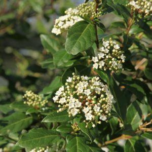 Laurier tin ou Viburnum tinus – Pot 3 litres, H40/60cm – PLANTES ET JARDINS