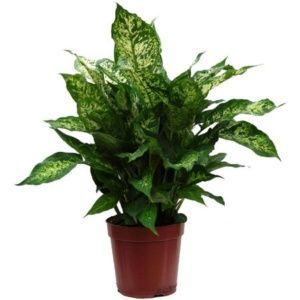 Dieffenbachia compacta- En pot de 17cm , hauteur 55cm