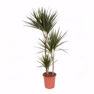Dracaena marginata 3 Pieds – En pot de 21cm , hauteur 110cm