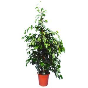 Ficus 'Daniel' (Ficus benjamina 'Daniel')