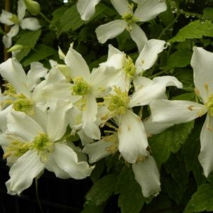 Clématite montana 'Wilsonii' – pot de 1 litre (14 à 18 mois de culture)