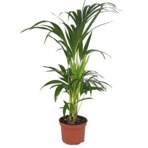 Palmier Kentia Howea forsteriana- En pot de 17cm , hauteur 80cm
