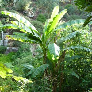 Bananier rustique Musa basjoo – En pot de 5 litres