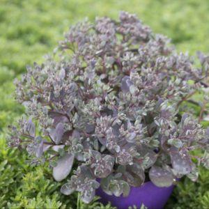 Sedum Sunsparkler® Dazzleberry – Pot de 2 litres