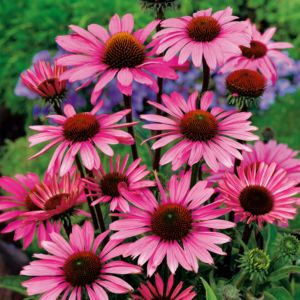 Echinacea 'Pow Wow Pink' – En pot de 2 litres
