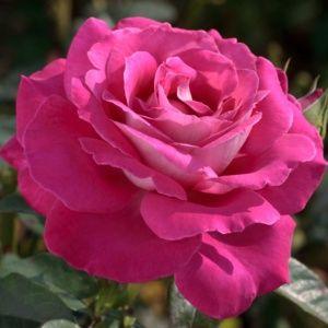 Rosier 'Baronne Edmond de Rothschild®' Meigriso