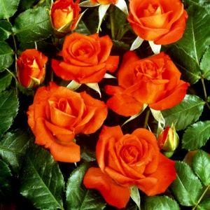 Rosier 'Rusticana®' Poppy flash (Rosa x 'Rusticana®' Poppy flash)