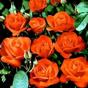 Rosier 'Orange sensation' (Rosa polyantha 'Orange Sensation')