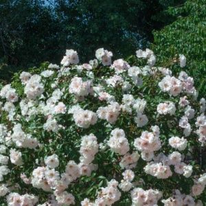 Rosier 'Ice meillandecor®' Meivahyn (Rosa x 'Ice meillandecor®' Meivahyn)