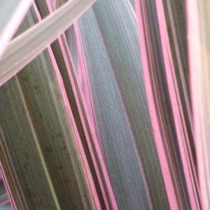 Phormium Lin de Nouvelle Zélande 'Pink Stripe'