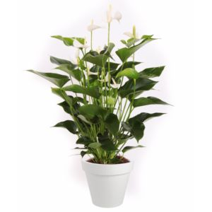 Anthurium royal White Champion
