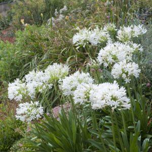 Agapanthe blanche umbellatus alba – Lot de 3 godets de 7 cm