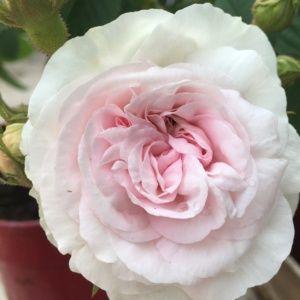 Rosier ancien 'Cuisse de Nymphe' (Rosa x 'Cuisse de Nymphe')