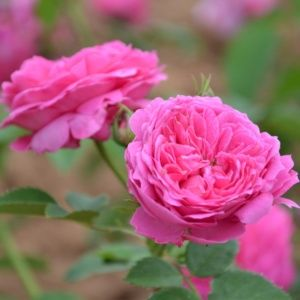 Rosier ancien 'Catherine Guillot' (Rosa x 'Catherine Guillot')