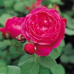 Rosier Generosa® 'Cybelle®' (Rosa Generosa® 'Cybelle®' Mascybe)