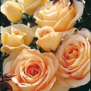 Rosier 'Honey Bouquet®' (Rosa x 'Honey Bouquet®')