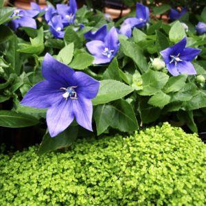 Campanula carpatica blue – Lot de 3 godets de 7 cm