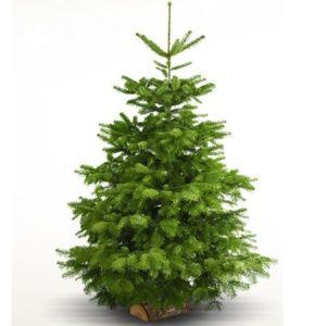 Sapin de Noël Nordman sur bûchette 150/175cm. Livraison incluse.
