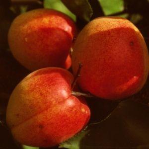 Abricotier 'Rouge du Roussillon'- Fruitier Georges Delbard