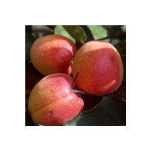 Abricotier 'Rouge du Roussillon' : taille en gobelet de 2 ans, en pot de 7,5 litres – PLANTES ET JARDINS – Jardinerie en ligne