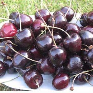 Cerisier 'Bigarreau Burlat': taille en gobelet de 2 ans, en pot de 7,5 litres – PLANTES ET JARDINS – Jardinerie en ligne