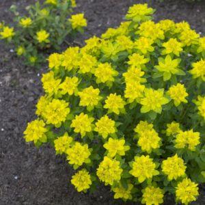 Euphorbia polychroma – Lot de 3 godets de 7 cm