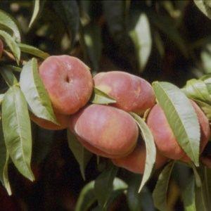 Pêcher 'Jalousia®' Ferjalou : taille en gobelet de 2 ans, en pot de 7,5 litres – PLANTES ET JARDINS – Jardinerie en ligne