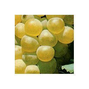 Vigne 'Chasselas doré' – Pot de 5,5 litres
