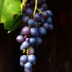 Vigne 'Muscat de Hambourg' – Pot de 5,5 Litres