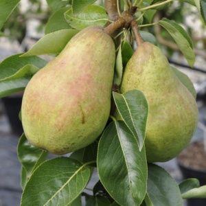 Poirier 'Williams' : Pot de 10 litres en quenouille de 2 ans – PLANTES ET JARDINS – Jardinerie en ligne