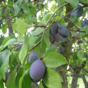 Prunier 'Quetsche d'Alsace' : taille en gobelet, en pot de 7,5 litres – PLANTES ET JARDINS – Jardinerie en ligne