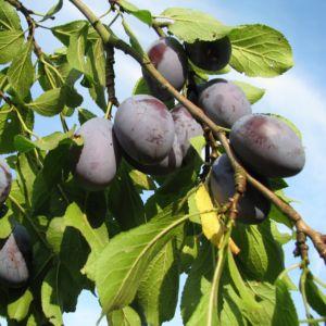 Prunier 'Quetsche d'Alsace'- Fruitier Georges Delbard