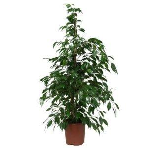 Ficus benjamina – Plante d'intérieur – Hauteur 100/110 cm – plante verte – PLANTES ET JARDINS – Jardinerie en ligne