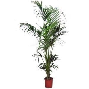 Kentia : Palmier d'intérieur – Hauteur 180/200 cm – plante verte – PLANTES ET JARDINS – Jardinerie en ligne