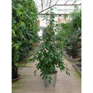 Ficus benjamina – plante intérieur / extérieur – Hauteur 140/150 cm – PLANTES ET JARDINS – Jardinerie en ligne