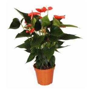 Anthurium orange 'Matiz' – En pot de 17cm , hauteur 60cm
