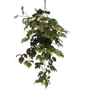 Rhoicissus – Plante grimpante d'intérieur – Pot suspension – plante verte – PLANTES ET JARDINS – Jardinerie en ligne
