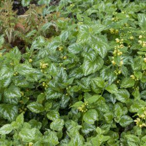 Lamiastrum galeobdolon florentinum – Lot de 3 godets de 7 cm