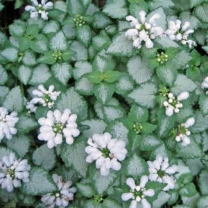 Lamium maculatum white nancy – Lot de 3 godets de 7 cm
