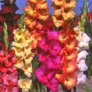 25 glaïeuls à grandes fleurs en mélange de coloris (Gladiolus x )