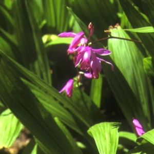 Orchidée de jardin (lot de 2) (Bletilla hyacintina)