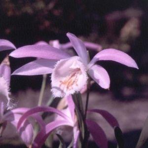 Orchidée de formose (Pleione formosana)
