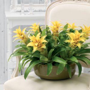 Guzmania 'Fancy' à fleurs jaune – Hauteur 45 cm