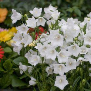 Campanule de Perse 'Alba' (fleurs simples blanches) (Campanula persicifolia)