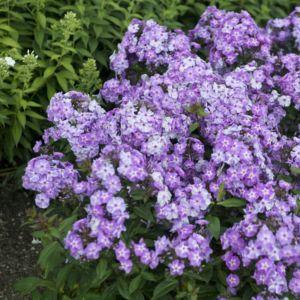Phlox paniculé violet (Phlox paniculata)
