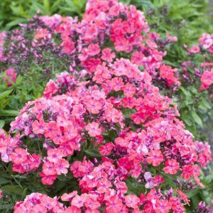 Phlox paniculé rose (Phlox paniculata)
