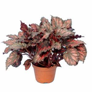 Bégonia Rex – Plante d'intérieur – Hauteur totale 30cm – Begoniacées – PLANTES ET JARDINS – Jardinerie en ligne