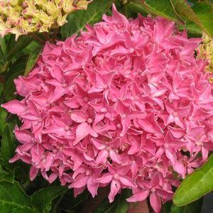 Hortensia nain Tovelite – Pot de 2L – 5 à 7 branches – PLANTES ET JARDINS – Jardinerie en ligne
