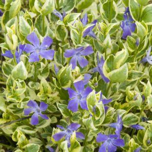 Vinca major variegata – Lot de 3 godets de 7 cm